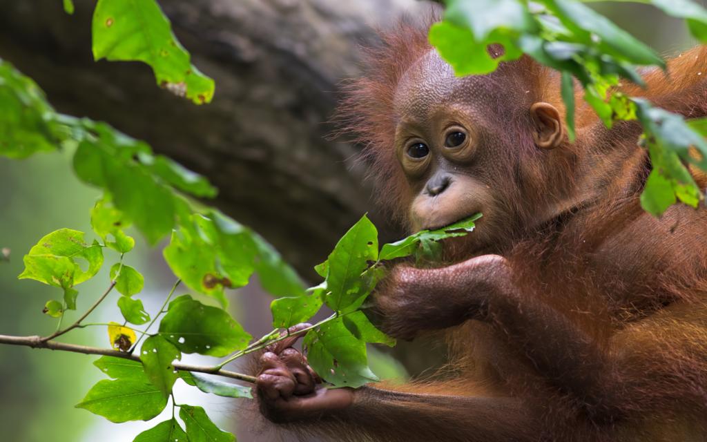 Borneo - Orangutan