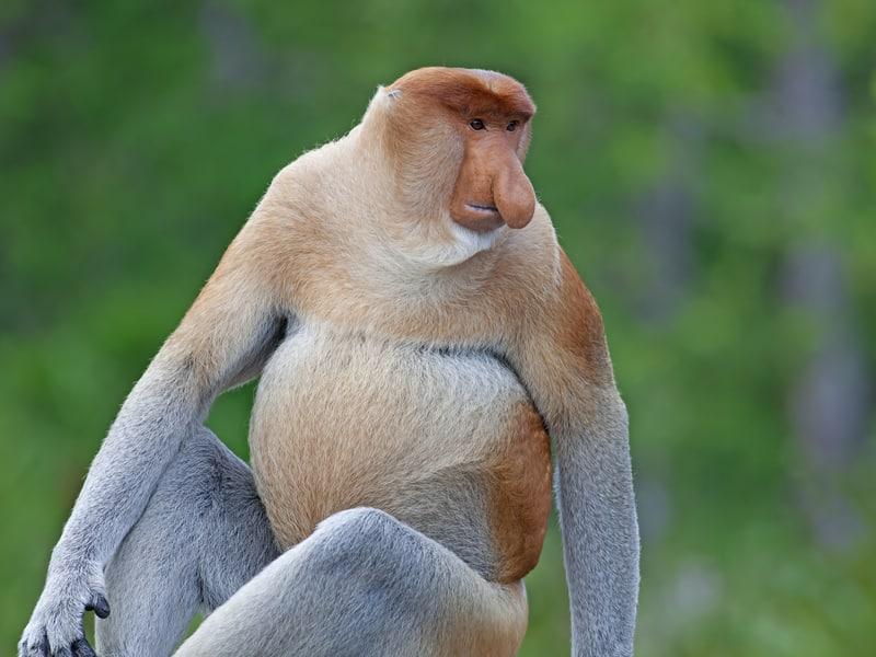 Borneo - Probrocis Monkey
