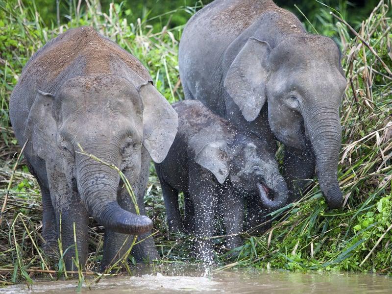Borneo - Pygmy Elephants