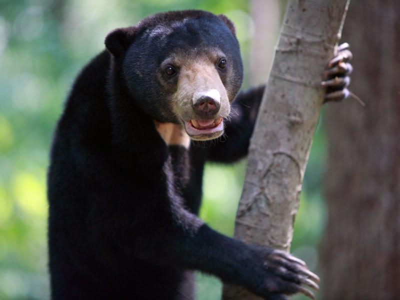 Borneo - Sun Bear