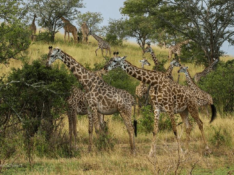 Singita Private House - Giraffe