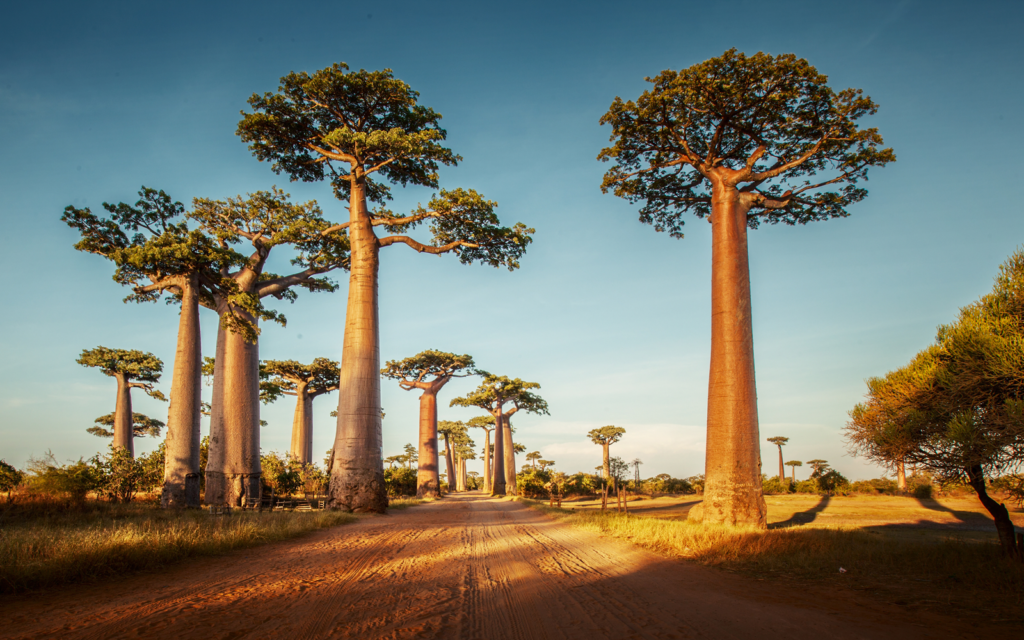 Madagascar Tour - Baobab Trees