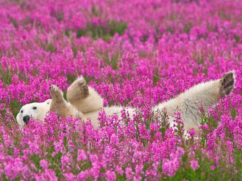 Canada - Polar Bear
