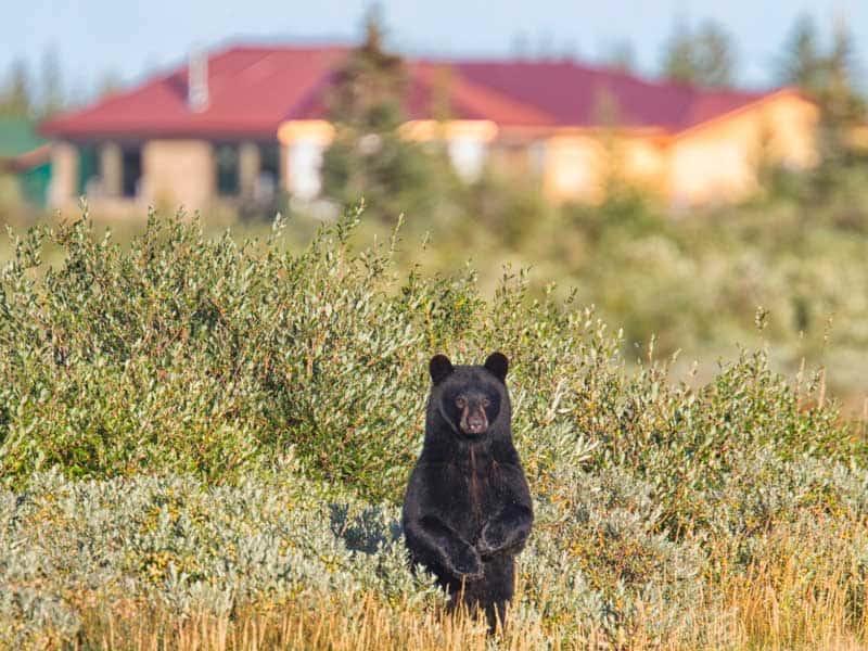 Canada - Black Bear