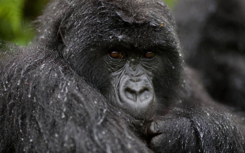 Gorilla and Chimpanzee