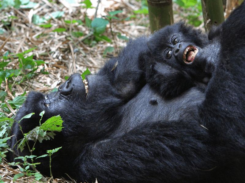 Gorilla And Chimpanzee Tracking