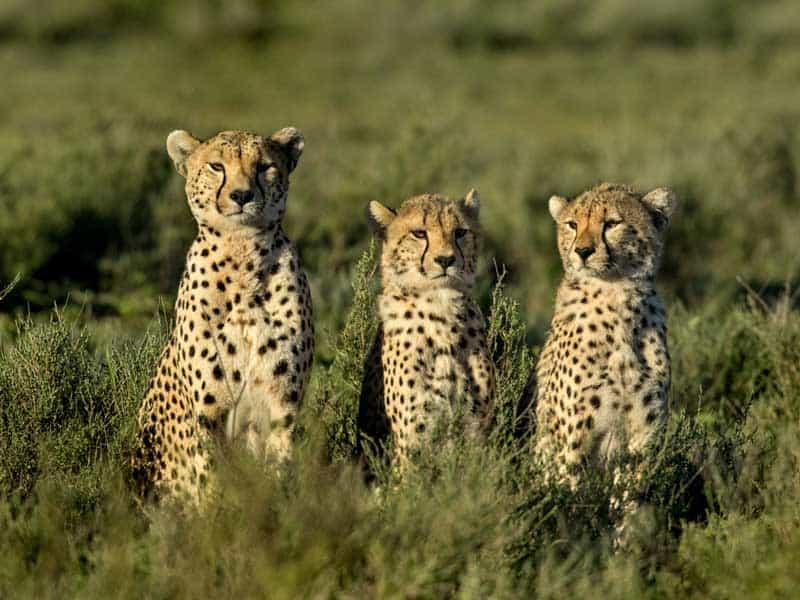 Tanzania - Cheetah