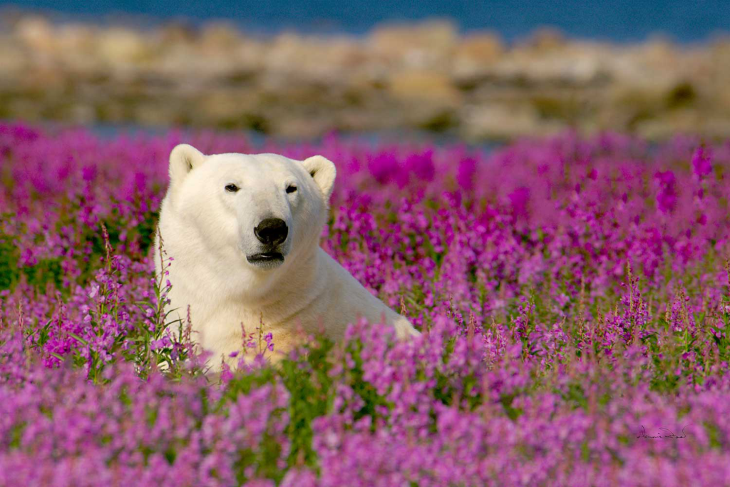 Canada - Polar Bear in Fireweed