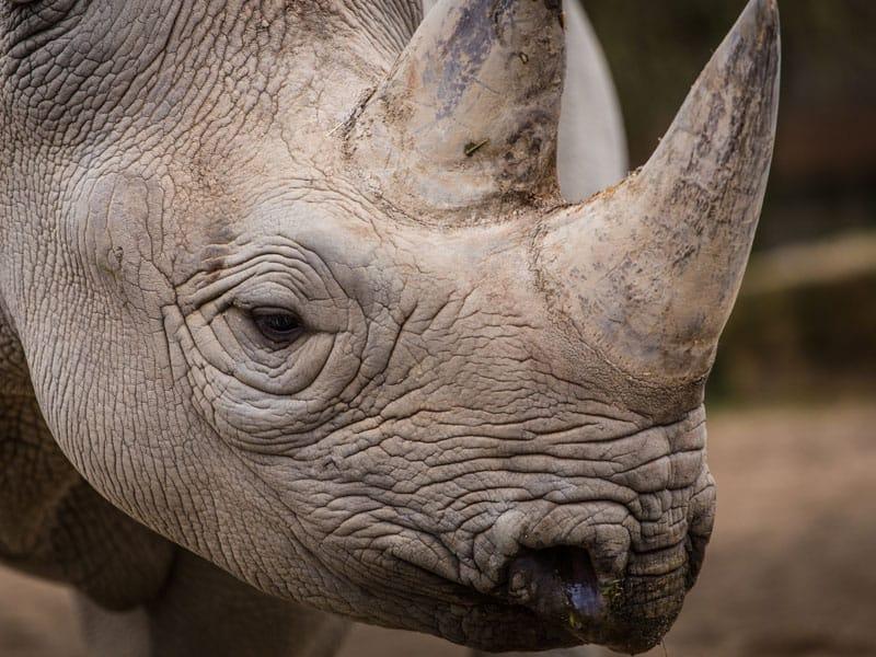 African Safari - Rhino