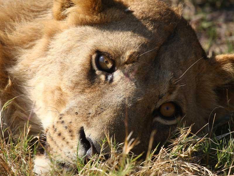 Botswana - Lion