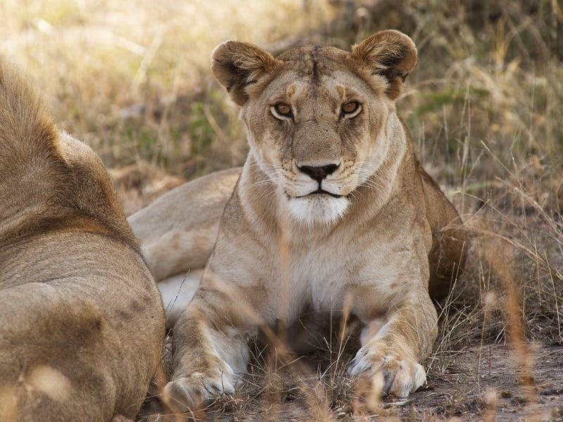 Tanzania - Lioness