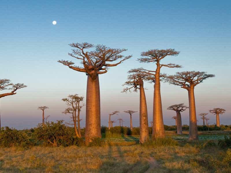Madagascar - Baobab Trees