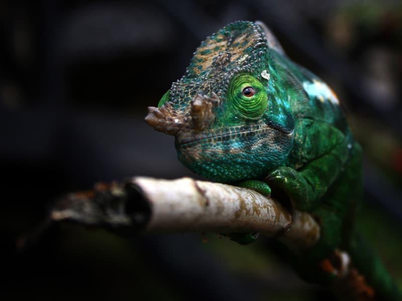 Madagascar - Chameleon