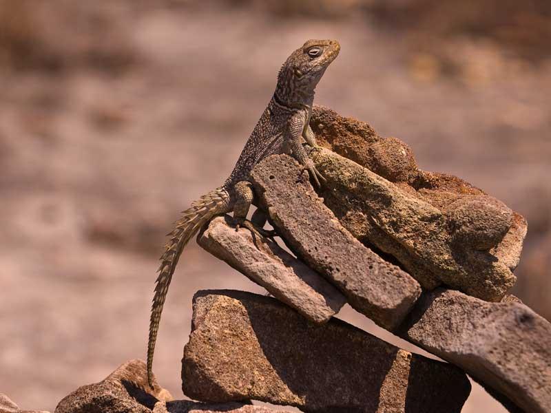 Madagascar Tour - Iguana