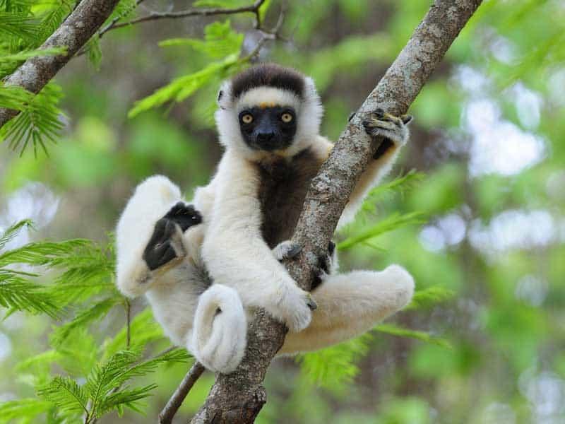 Madagascar Tour - Lemur