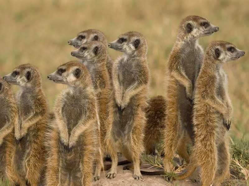 Botswana - Meerkats