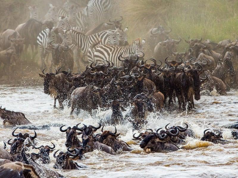 Ngorongoro, Serengeti And Mnemba - Serengeti Wildebeest