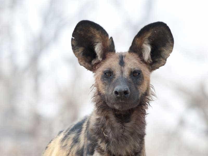 Botswana - Wild Dog