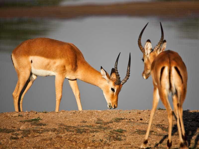 Zambia - Impala