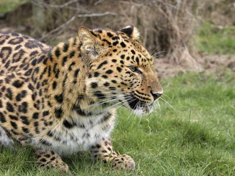 Zambia - Leopard