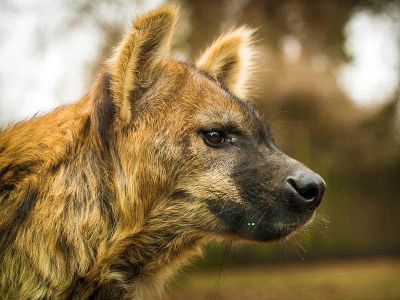 Zambia - Wild Dog
