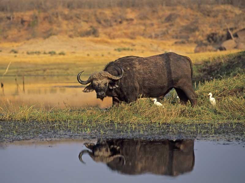 Zimbabwe - Buffalo