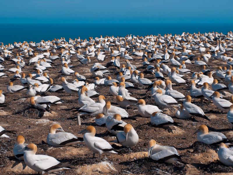 North Island - Gannets
