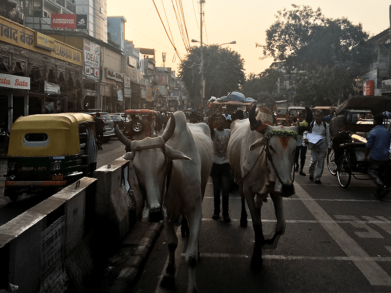 Golden Triangle - Sacred Cows