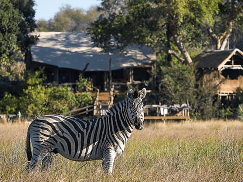 Little Tubu - Zebra