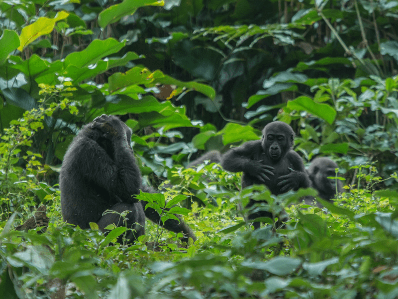 Gorillas In The Congo - Western Lowland Gorillas