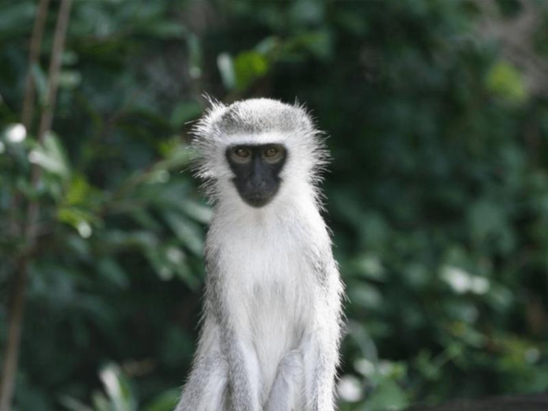 Pambele - Monkey