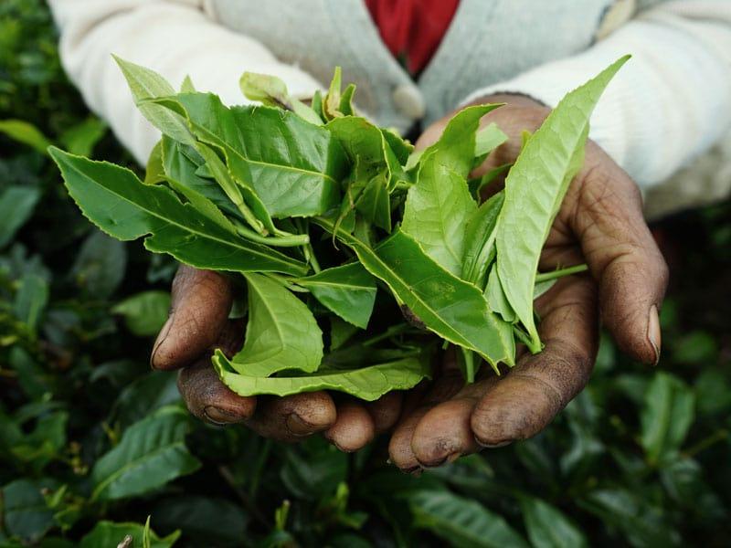 Tea Leaves - Celebrating Tea