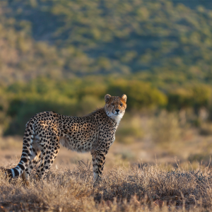 The Manor - Cheetah