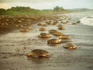 Costa Rica - Turtles