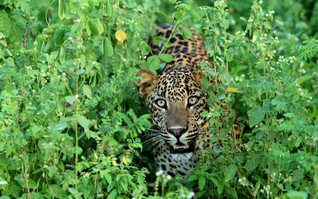 Sri Lanka - Yala Leopard
