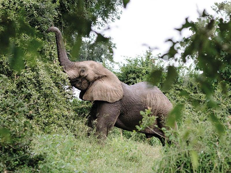 Chilojo Elephant - Zimbabwe