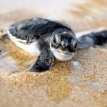Sao Tome and Principe - Turtle Hatching