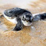 Sao Tome and Principe - Turtle Hatching